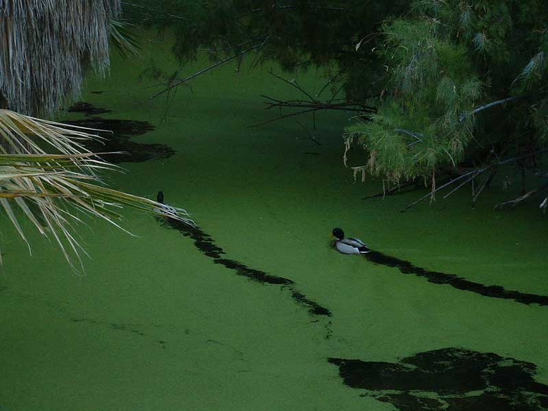 characteristics of duckweed Scientific name: lemna spp distinguishing characteristics: tiny floating plant of  2 to 3 joined fronds that are usually less than 1/8 – inches wide fronds are.